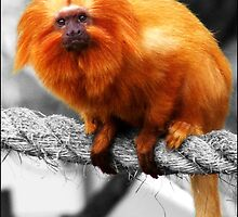 Golden Lion Tamarin by Durotriges