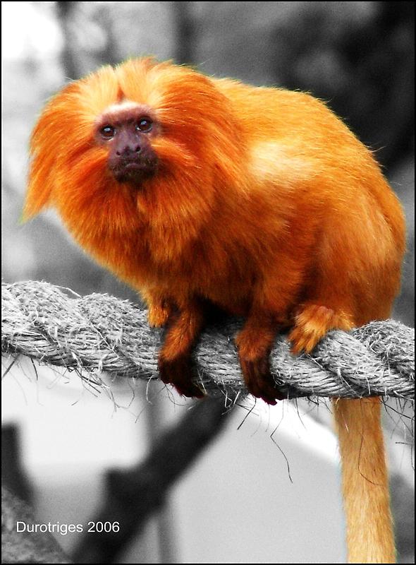Golden Lion Tamarin by Durotriges