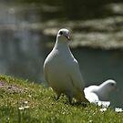 Doves by Lee Jones