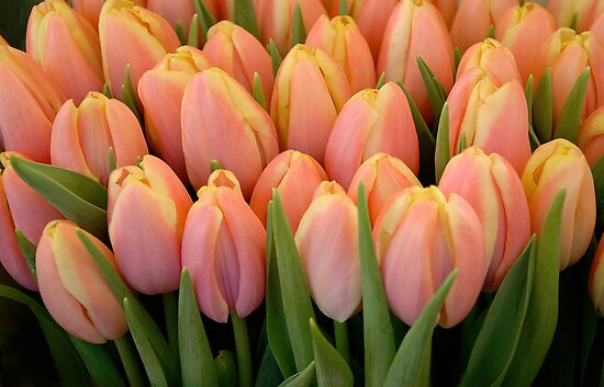 Tulips and more tulips by cherryannette