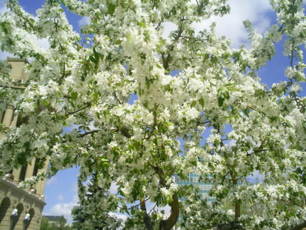 lots of white flowers on tree by oilersfan11