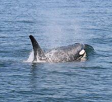 Orca by loriann