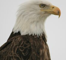 Eagle by loriann