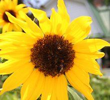 Yellow Sunflower 2007 by Rachel Lewter