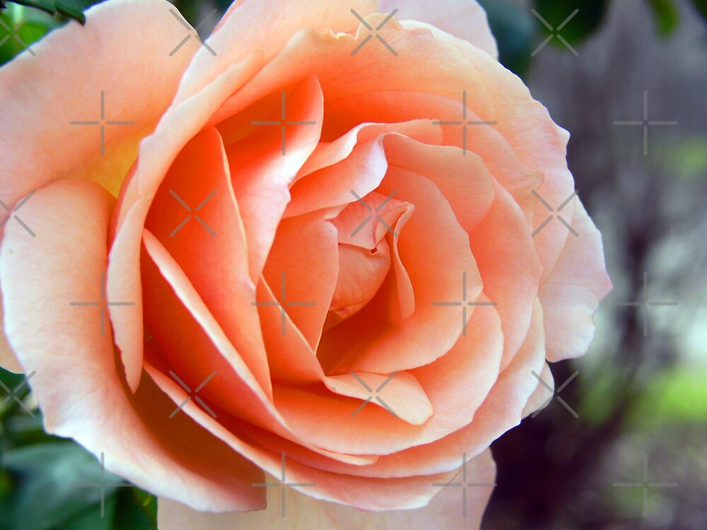 Winter Apricot Rose by Sandra Chung