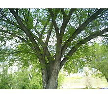 branched out tree branches Photographic Print