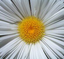 Alpine daisy by maarjaara