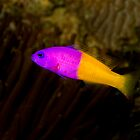 Royal Dottyback by Frank Yuwono