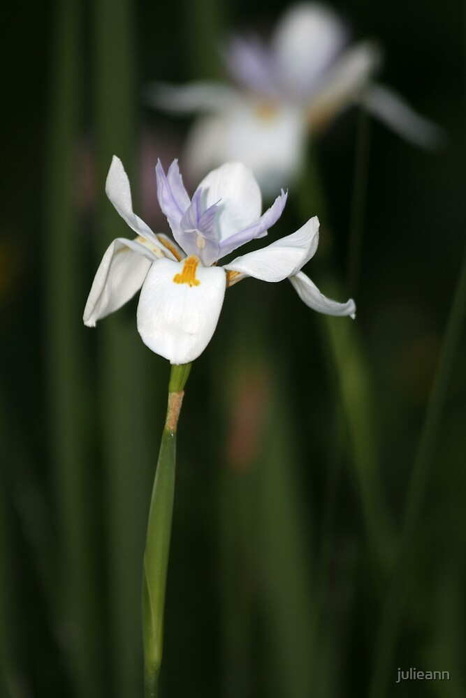 Lily by julieann