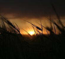 Barley on Sunset by Helen Simpson