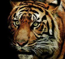 Sumatran Tiger by Natalie Manuel