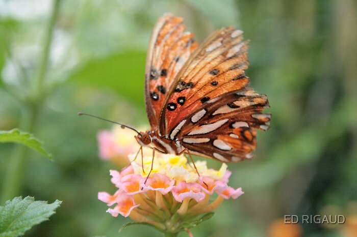 Butterfly 5 by ED RIGAUD