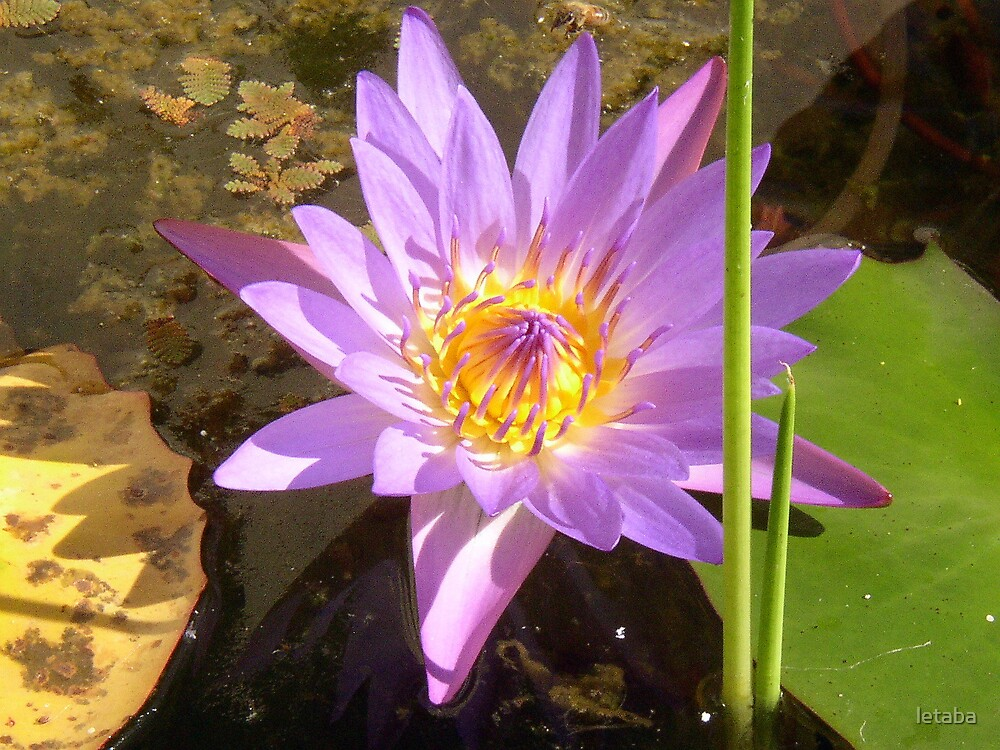 Lotus by letaba