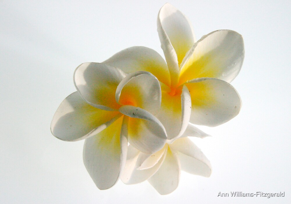 Frangipani Delight by Ann Williams-Fitzgerald