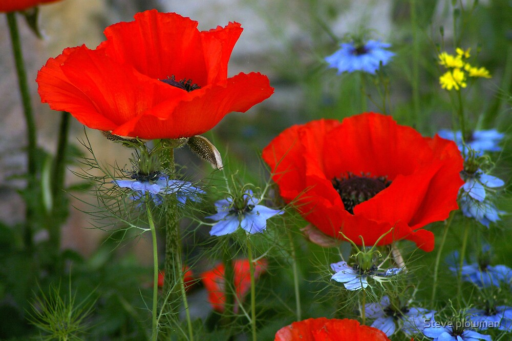 Wild Poppies by Steve plowman