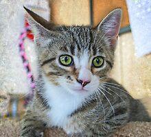 Green Eye Cute Tabby Kitten by odas