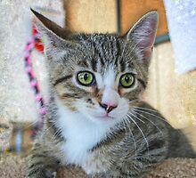Green Eye Cute Tabby Kitten by Peggy  Volunteer Photographer FOR RESCUE ANIMALS