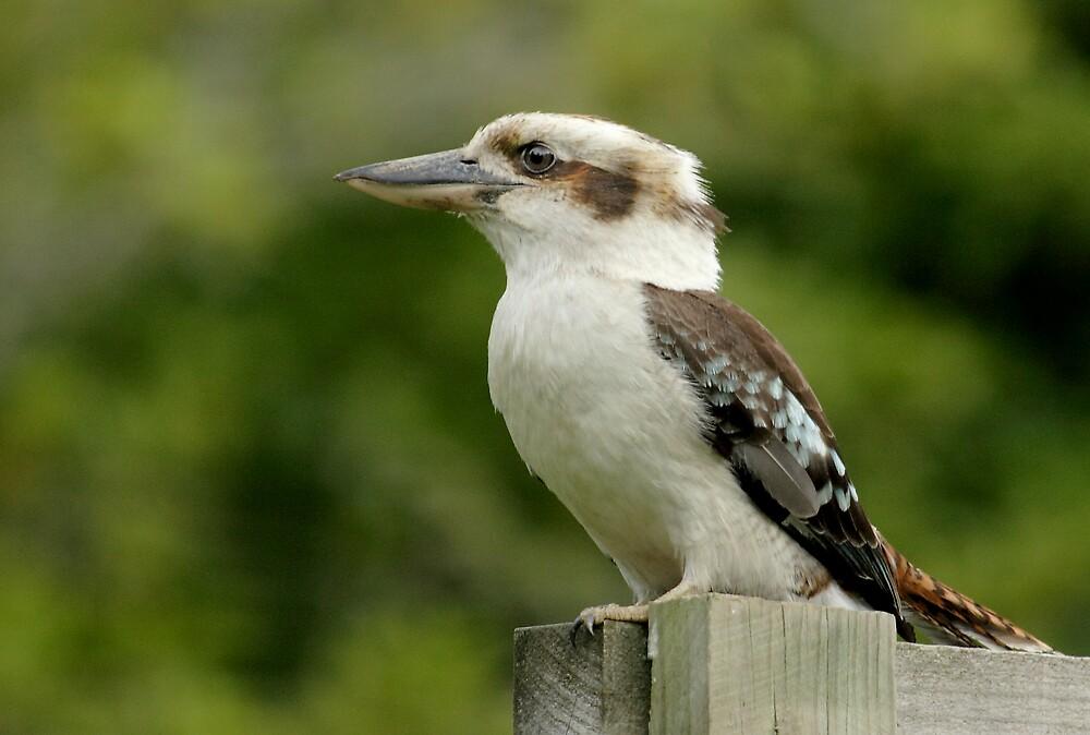 Kookaburra by Natalie Manuel