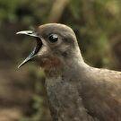 Lyrebird by Natalie Manuel