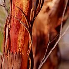 Red Gum 2 by meerimages