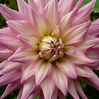 Dahlia in Bloom by joolz