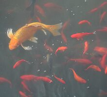 orange goldfish in the water by Rachel Lewter