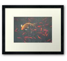 orange goldfish in the water Framed Print