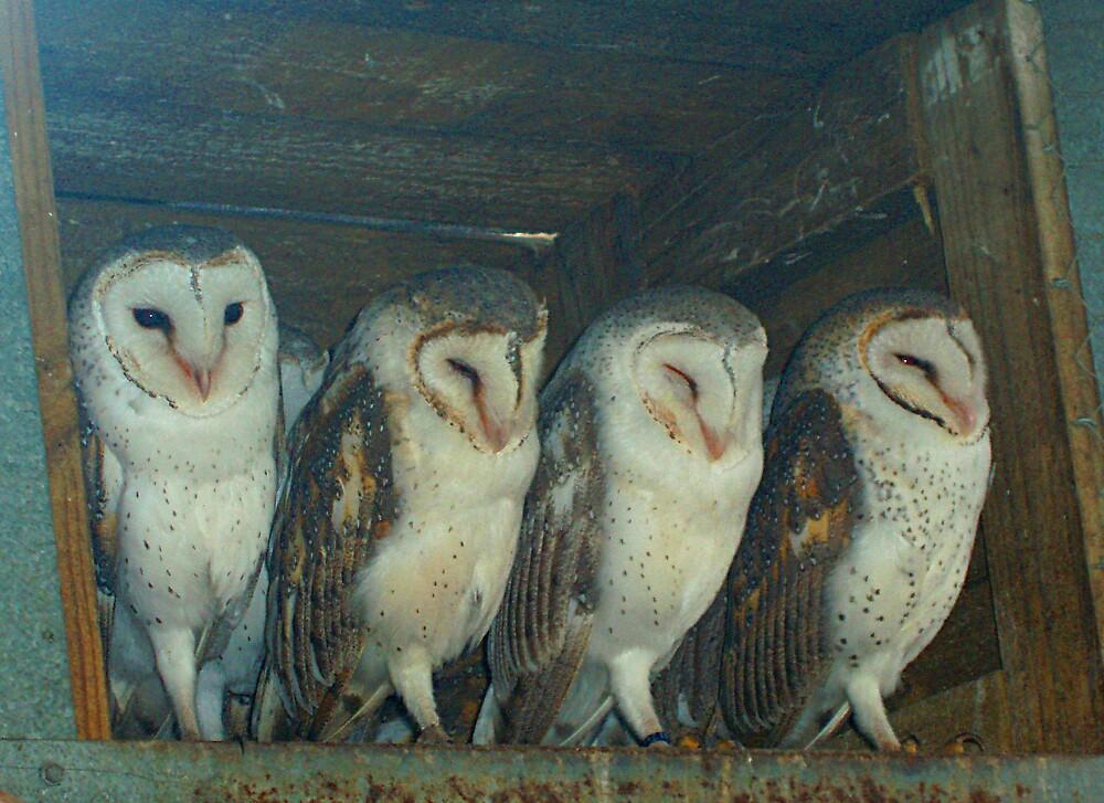 owls by Carolyn