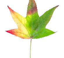 The colourful Sugargum leaf by acmanley