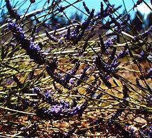 lavender farm by sunset