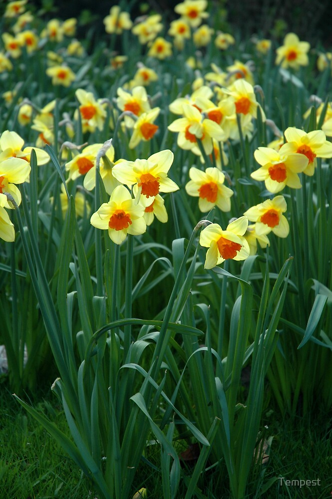 Daffodils by Tempest