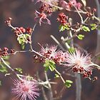 Pink ;Calliandra Eriophylla;Pink Fairyduster; Along Route 10 East towards Arizona by leih2008