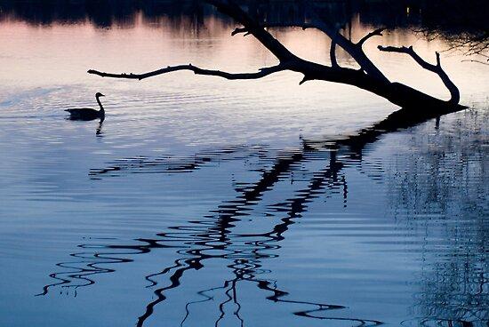 Swan at sunset by sasi