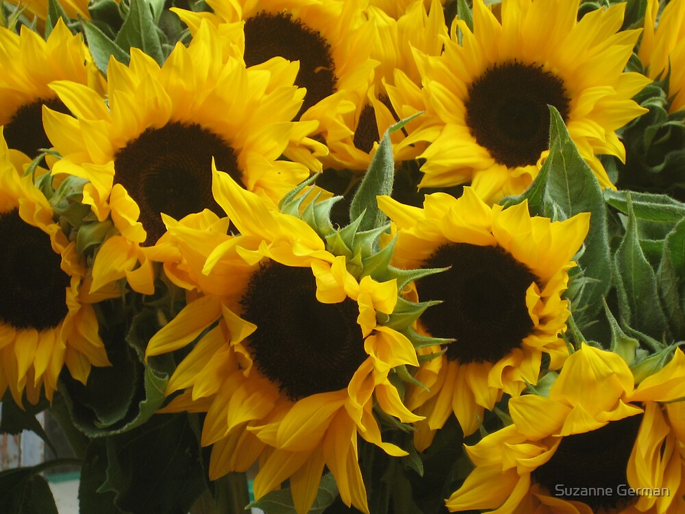 sunflowers by Suzanne German