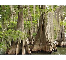 Cypress trees in Louisiana Photographic Print