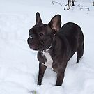 Black French Bulldog Loves To Play In The Snow by Mythos57