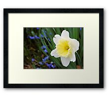 Daffodil with a Hint of Yellow Framed Print