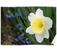 Daffodil with a Hint of Yellow Poster