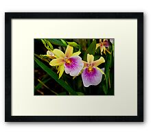 Gorgeous Miltonia Sunset Orchid Framed Print
