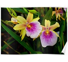 Gorgeous Miltonia Sunset Orchid Poster