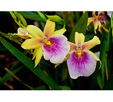 Gorgeous Miltonia Sunset Orchid Photographic Print