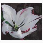 Bleeding Tulip Tears by Linda  Tenenbaum