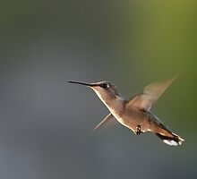 Flight of the hummer by Gregg Williams