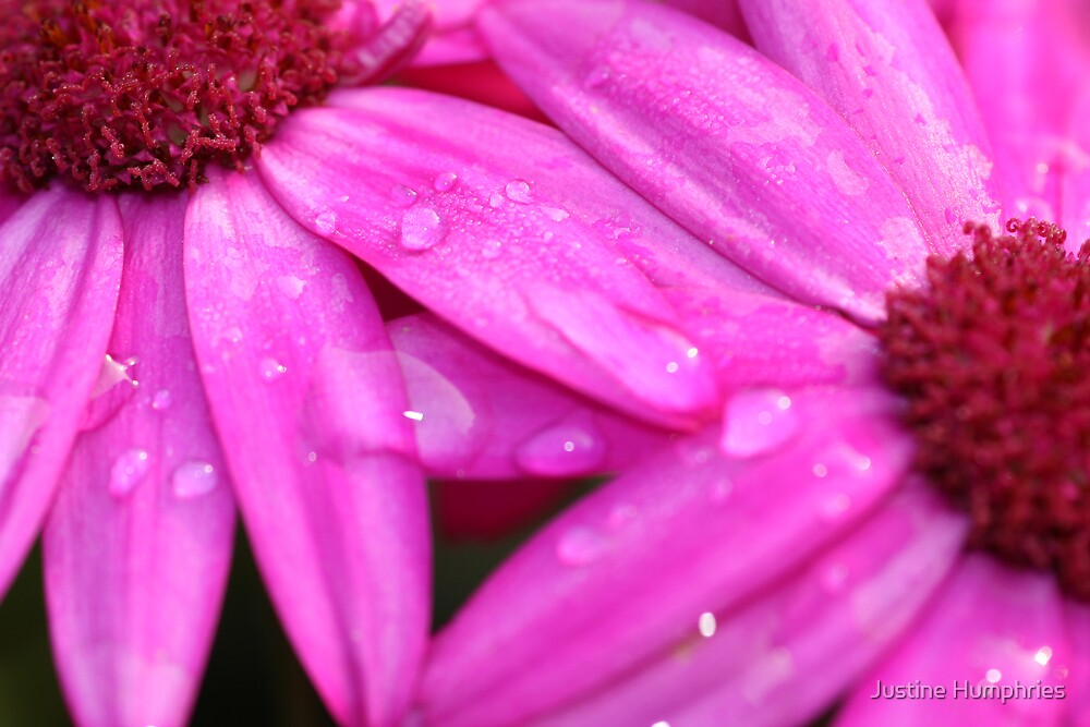 Senetti in Pink by Justine Humphries