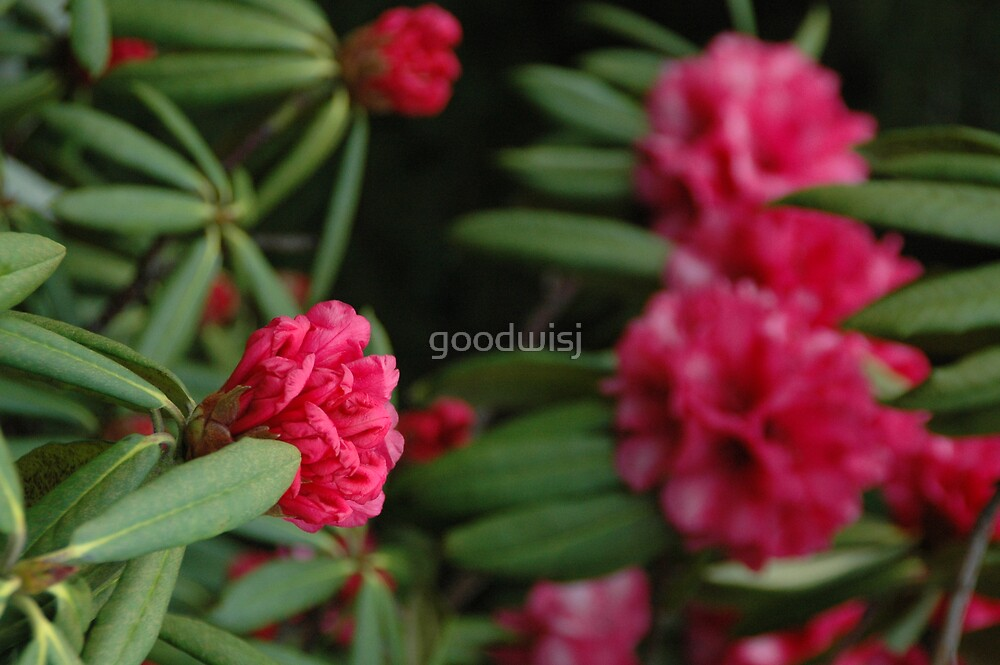 Pink Rhododendron by goodwisj