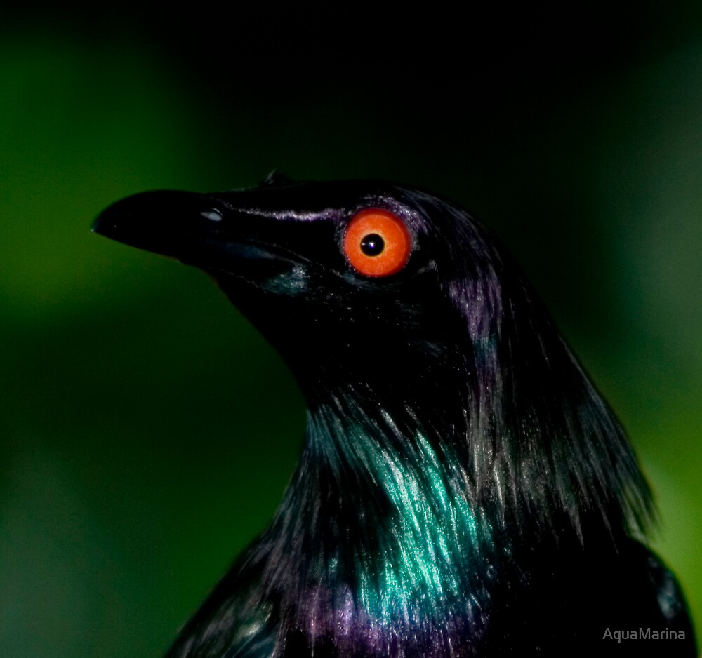 Starling by AquaMarina