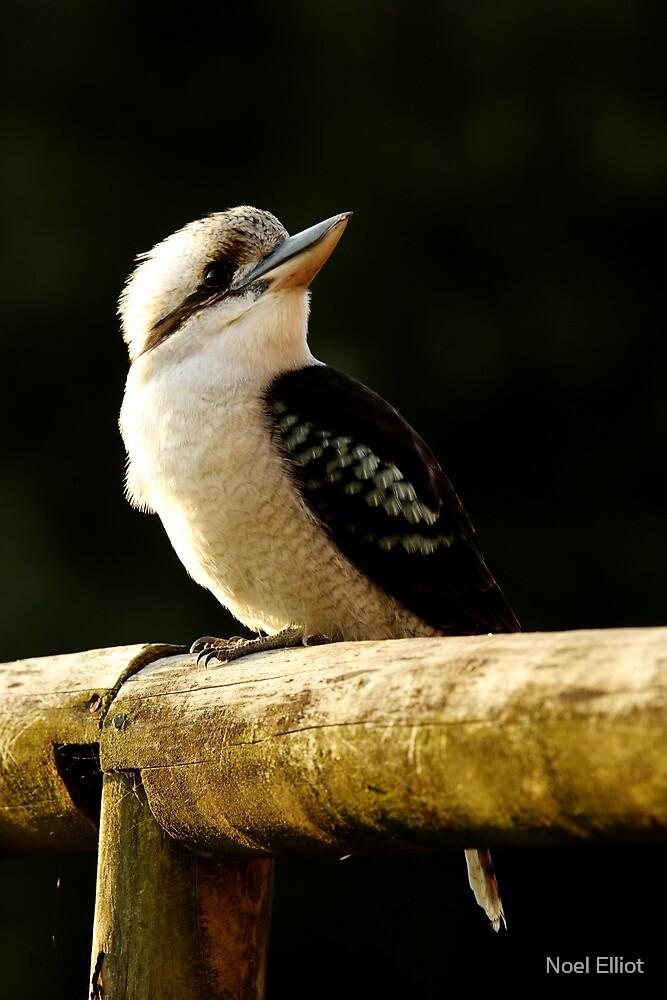 Kookaburra by Noel Elliot