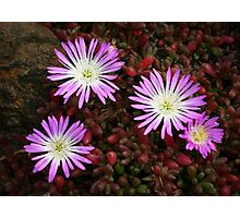 Native Pigface Photographic Print