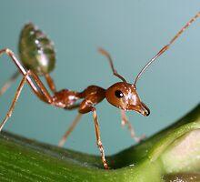 Green Ant by Brett Habener