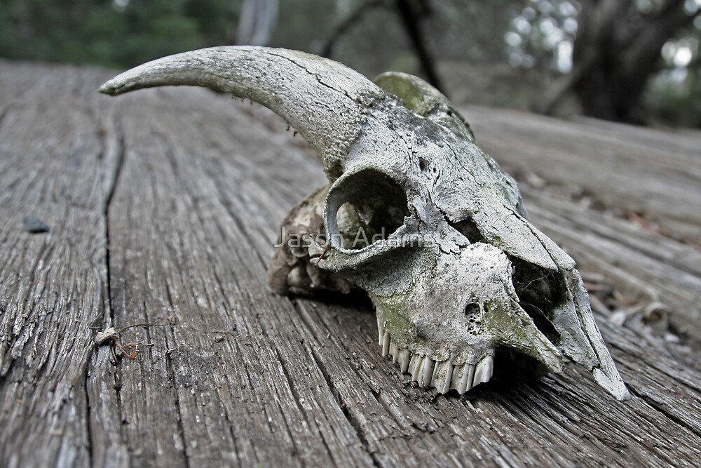 Goats Skull by Jason Adams